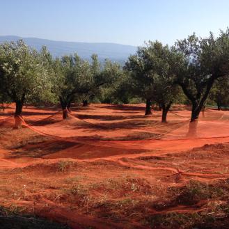 Calabria_Soul_Food_raccolta_Olive_Carolea