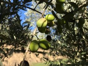 Calabria_Soul_Food_Olive_1